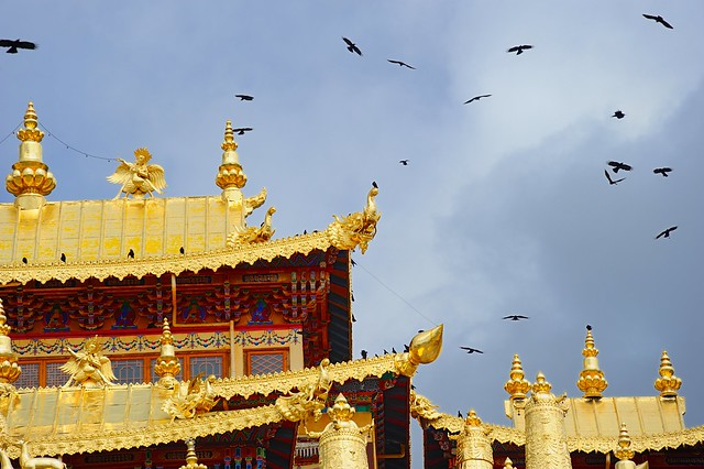 Red-billed chough play over the golden roofs of Gyeltang Sungtseling Monastery, Tibet 2015