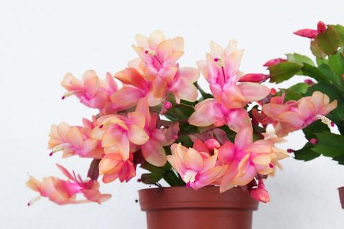 Schlumbergera truncata | by blumenbiene