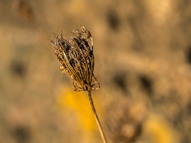 Decaying wild flower with golden morning sun