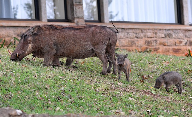 Warthog family in the Aberdare Country Club gardens, Mount Kenya.