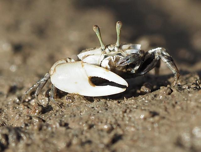 Immature Orange Clawed Fiddler Crab