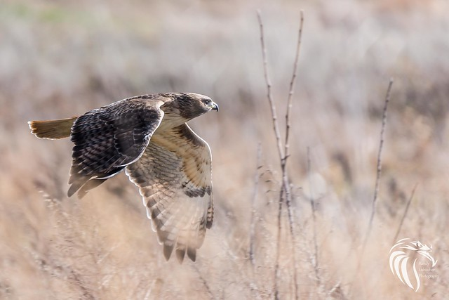 Red-tailed Hawk on the Hudson | 2017 - 5