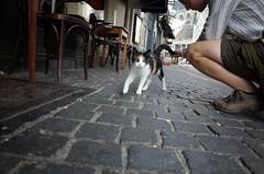 Breda café cat