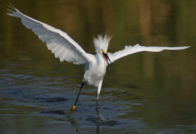 There's Crazy and Then There's Snowy Egret Crazy