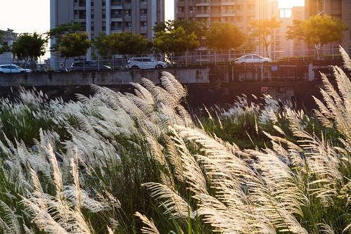 flowers autumn light sunset plants sunlight plant flower cars beautiful sunshine buildings taiwan taichung 台灣 車 植物 台中 大坑 汽車 芒草 大里溪