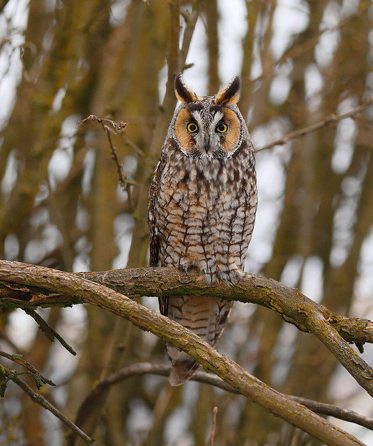 Long eared Owl (tighter crop)