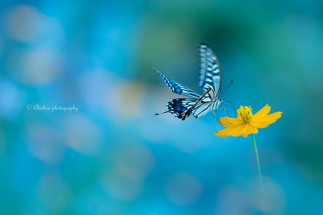 揚羽蝶(Swallowtail butterfly)
