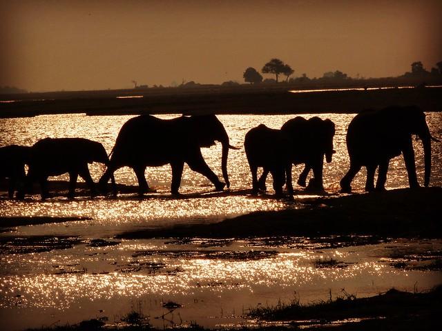 Elefantes en el río Chobe de Botswana (El más grande de los Big Five de África)
