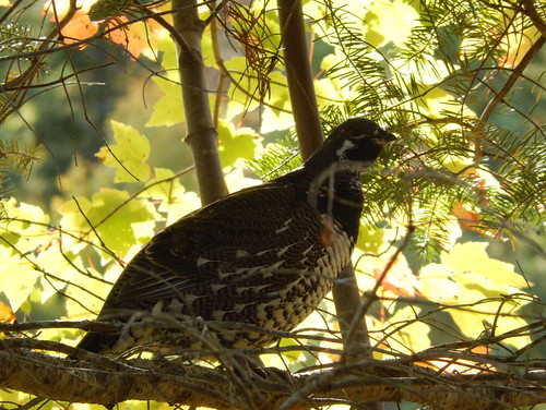 Algonquin PP - bike trail - ruffed grouse