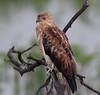 Whistling Kite (Haliastur sphenurus) - waiting for the rain to stop by Geoff Whalan