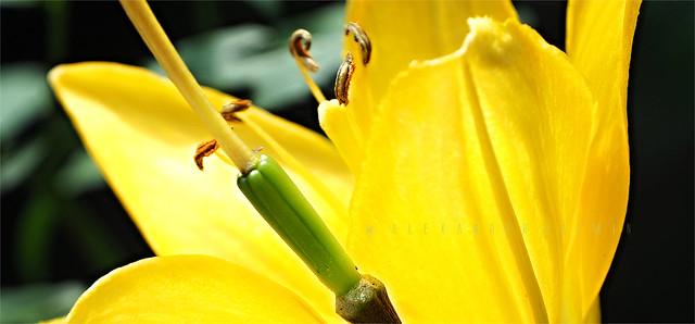 Yellow Petals P7230273