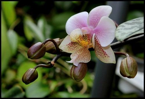 Phalaenopsis wiganiae 21152614618_669526d141