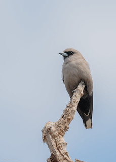 Black-faced Woodswallow | by gus.meredith
