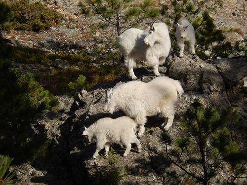 Custer State Park - berggeiten