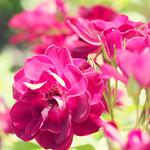 Rose, Burgundy Iceberg, バラ, バーガンディ アイスバーグ,