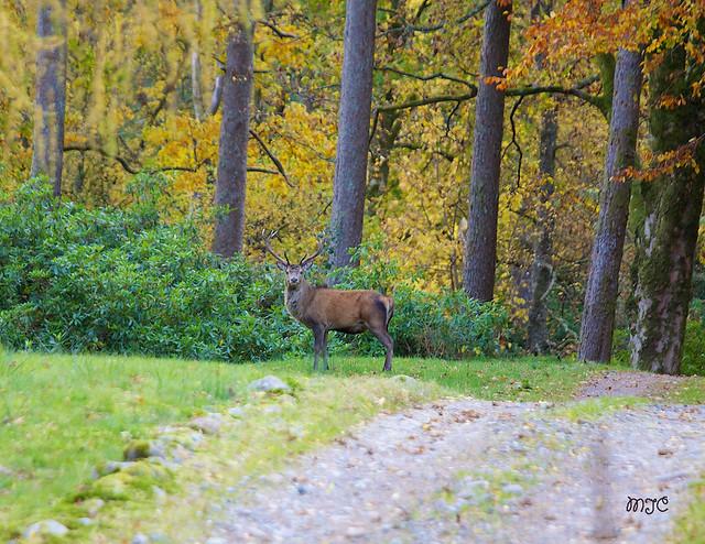 Cerf dans la vallée de Glen Etiv...... Deer in the Valley Glen Etive ......