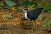 White-breasted Waterhen,  Amaurornis phoenicurus phoenicurus by Graham Ekins