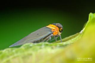 Planthopper (Plectoderes collaris) - DSC_1412