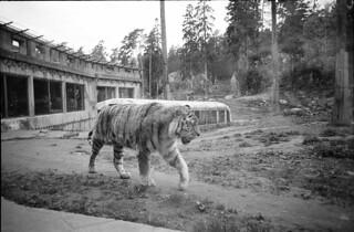 Tiger at animal park