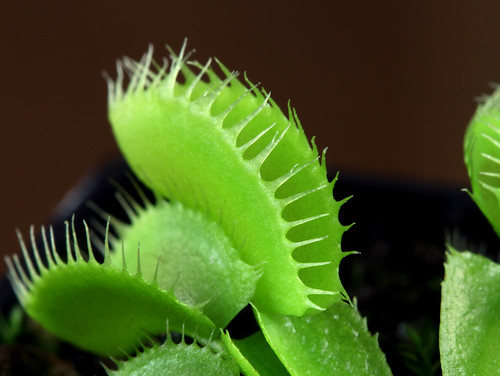 Seed grown Dionaea (2014) | by Taudan Plants