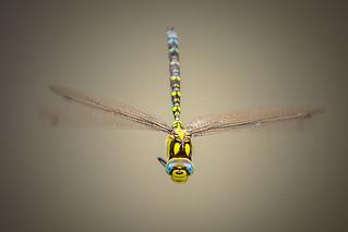 Dragonfly   by Macco42