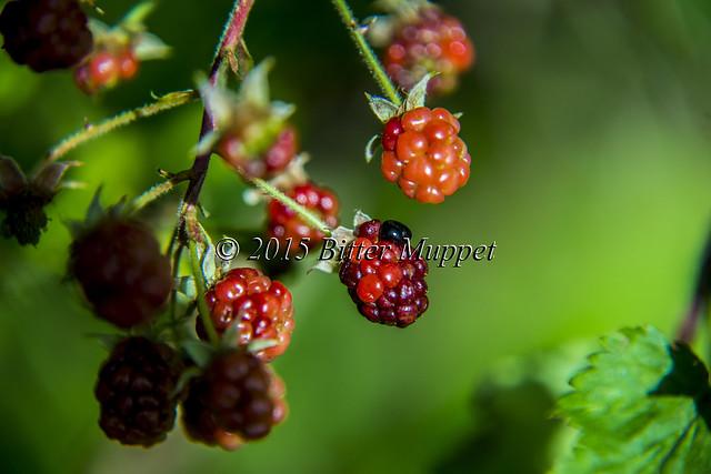Almost Blackberries