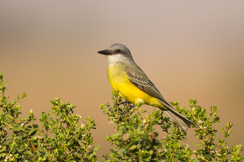 Tropical Kingbird | by Eric SF