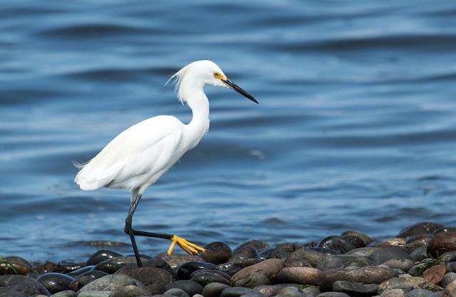IMG- 4695  Snowy Egret