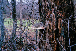 Bracket Fungus on Linden | by chrism229