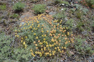 Eriogonum caespitosum 2016.5.23.1 | by geodesert
