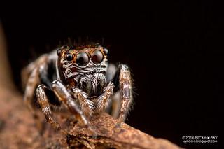 Jumping spider (Ptocasius sp.) - DSC_2839