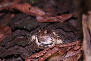Southern Leopard Frog in situ | by jack4rogers