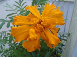 """""""Giant"""" marigold   by hawken.carlton"""