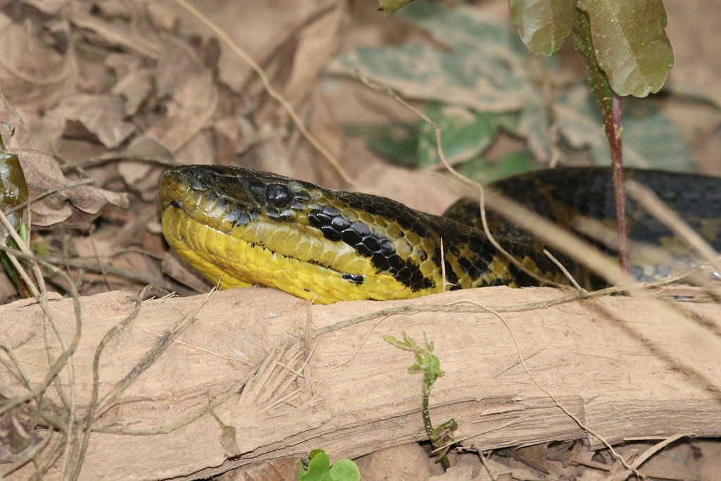 Eunectes notaeus - Yellow Anaconda