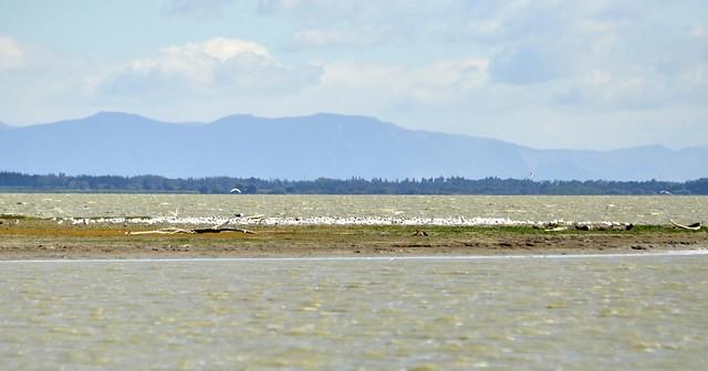 Tern Nesting colony