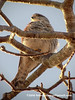 Madagacar Kestrel (Falco newtoni newtoni), pale morph male PA131454 by fotosynthesys