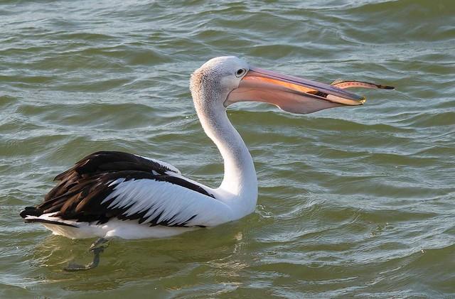 IMGP8108-pelican lunch