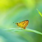 黃斑弄蝶 ● Ampittia dioscorides
