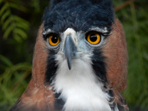 San Diego Zoo - Ornate Hawk-Eagle