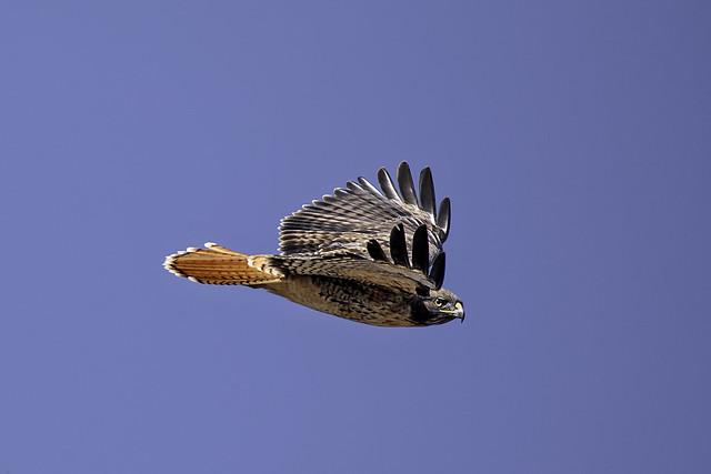 Hawk in Flight #46