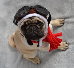 Boo The Aviator Pug by DaPuglet