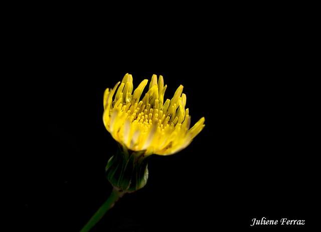 Dente -  de -  Leão  ( Dandelion )