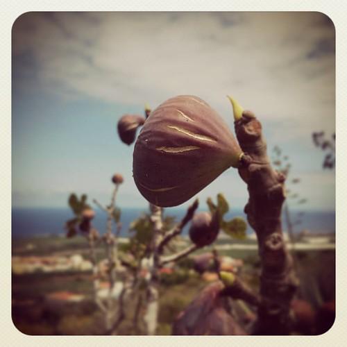 Higos... la madre naturaleza siempre sorprende por su espontaneidad!!!! #Vendimia2015 | by Pedro Baez Diaz @pedrobaezdiaz