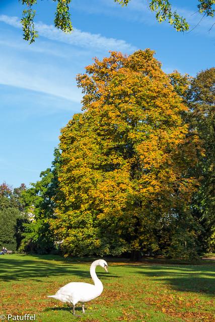 Swan enjoying golden autumn