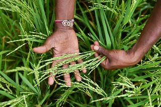 Rice in India | by CGIAR Climate