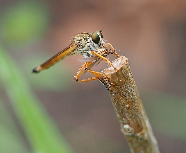 Robber Fly With Winged Termite.