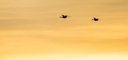 birds geese flight flyingbirds flyinggeese sunrise wildlife nature serene peaceful migration canadageese