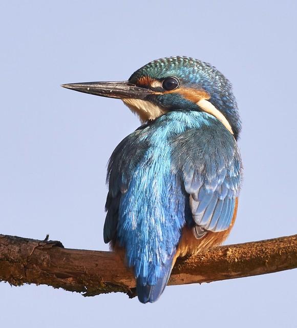 Eisvogel / Kingfisher / Alcedo Atthis