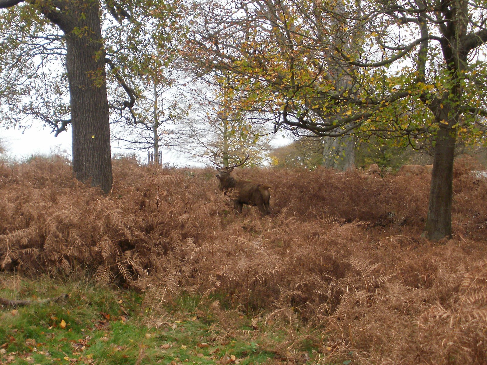 Stag in Richmond Park 2 OLYMPUS DIGITAL CAMERA