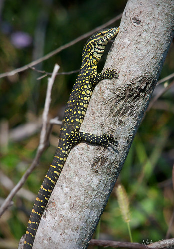 Nile Monitor | by Nick Scobel